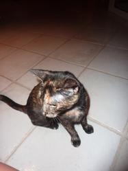 Pupa, chat Européen