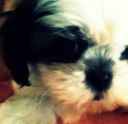 Sparky, chien Shih Tzu