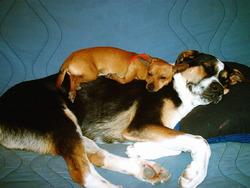 Puppy, chien Chihuahua