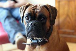 Pupsy, chien Boxer