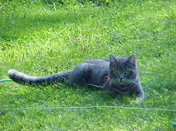 Pupuce, chat Gouttière