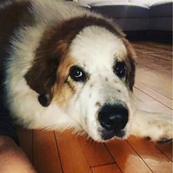 Pupuce, chien Chien de montagne des Pyrénées