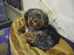 Pupuce, chien Yorkshire Terrier