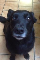 Pupuce, chien Schipperke