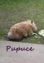 Pupuce, rongeur Lapin