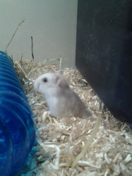 Pupuce, rongeur Hamster