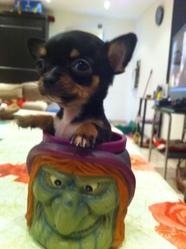 Pupuce, chien Chihuahua