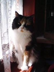 Pupuce , chat Persan