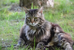Pupuce, chat Maine Coon