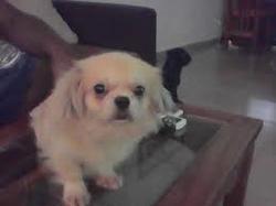 Pupuce, chien Caniche
