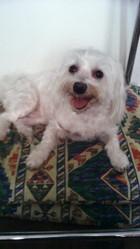 Pupuce, chien Bichon maltais