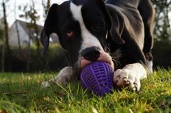 Purcey, chien Dogue allemand
