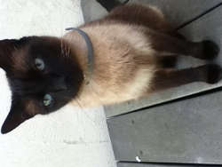 Putchi, chat Thaï
