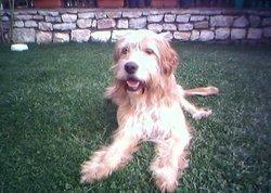 Putchi, chien Berger catalan