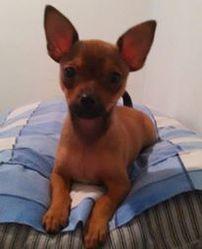 Putshie, chien Chihuahua