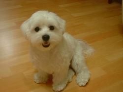 Pylou, chien Coton de Tuléar