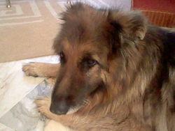 Pyram, chien Berger allemand