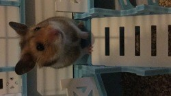 Pyro, rongeur Hamster