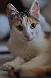 Pyxie, chat Gouttière