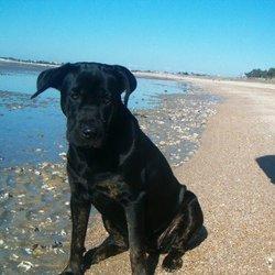 Qara, chien Cane Corso