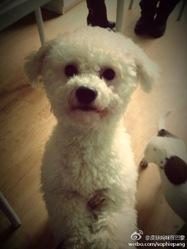 Qiuqiu, chien Bichon à poil frisé