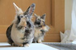 Quandy, rongeur Lapin