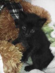 Arya , chat Gouttière