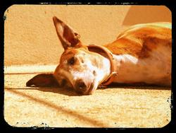 Queen, chien Lévrier espagnol