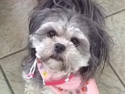 Queeny, chien Shih Tzu