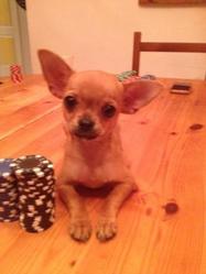 Quenny, chien Chihuahua