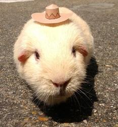 Quenotte, rongeur Cochon d'Inde