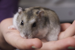 Quenotte, rongeur Hamster