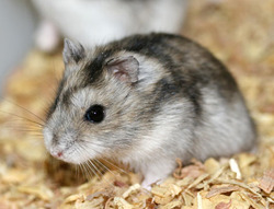 Quetty, rongeur Hamster
