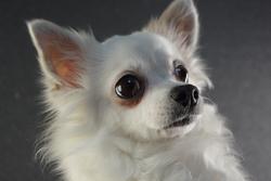 Channel Maya, chien Chihuahua