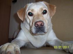 Quicky, chien Labrador Retriever