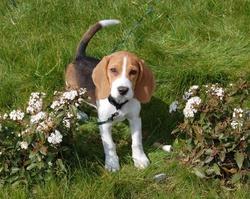 Quik, chien Beagle