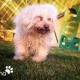 Quina, chien Bichon maltais