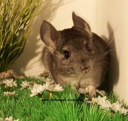Quinoa, rongeur Chinchilla