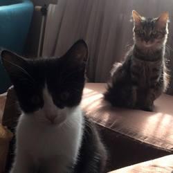 Quinoa Et Sushi, chat Chartreux