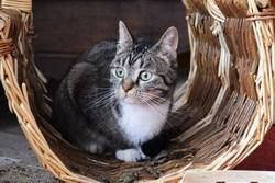 Quinoa , chat Gouttière
