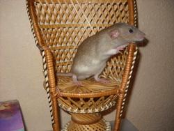 Quinoa, rongeur Rat