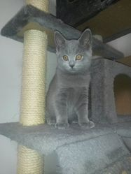 Quirli, chat Chartreux