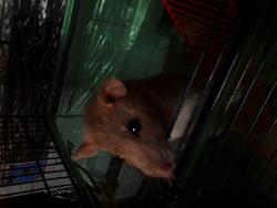 Quitchou, rongeur Rat