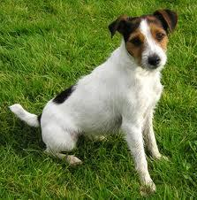 Qwang, chien Jack Russell Terrier