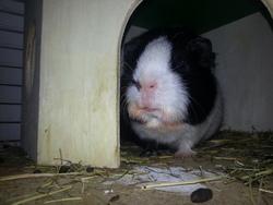 Raccoon, rongeur Cochon d'Inde