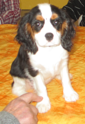 Rachel, chien Cavalier King Charles Spaniel