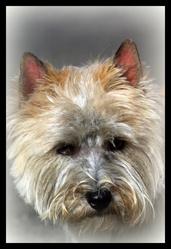 Rack, chien Cairn Terrier