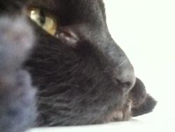 Radis Noir, chat Maine Coon
