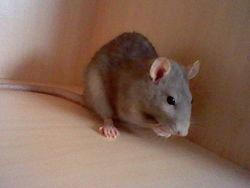 Radis , rongeur Rat