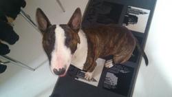Radjah, chien Bull Terrier